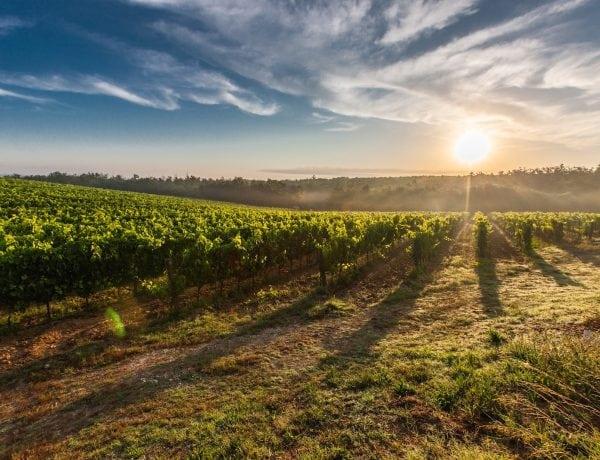 riesling tyskland vinrankor