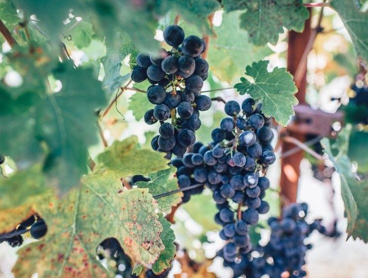 Sangiovese druvguide druvor italien vinsider